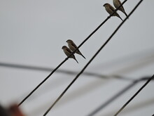 Many Pairs Of Sparrows Sitting On Electric Wire In A Moody Day