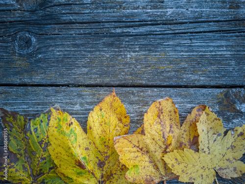 Fototapeta Autumn Again - Coloured maple leaves on a weathered wooden board make a beautful seasonal autumn background. obraz