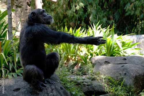 Photo Side portrait chimpanzee asking for food