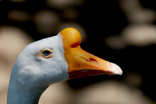 Close Up Head Of Goose