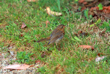 Young Robin Without Its Characteristic Orange Chest