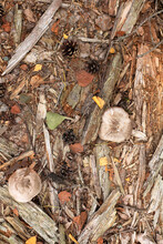 Flat Lay Of Pine Needles Mushroom Leaves And Tree Fragment Top View. Autumn Forest Floor