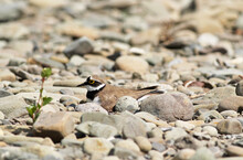 Little Ringed Plover (Charadrius Dubius) Sitting On Its Eggs Among The Pebbles