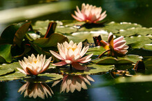 Light Pink Star Lotus Flower Or Water Lily Nymphaea Nouchali Or Nymphaea Stellata With A Mirror Reflection In The Water.