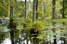 Cypress Gardens In Moncks Corner Near Charleston In South Carolina, USA, Summer, Water Lilies, Swampland, Reflections In Water, Movie Location
