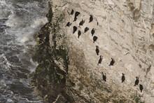 Atlantic Cormorants On The Cliff