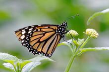 Monarch (Danaus Flexippus)  At...