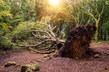 Huge Fallen Tree In A Park Aft...