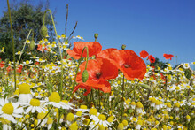 Red Common Field Poppies And C...