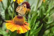 Meadow Brown Butterfly On Helenium Sneezeweed Flowers