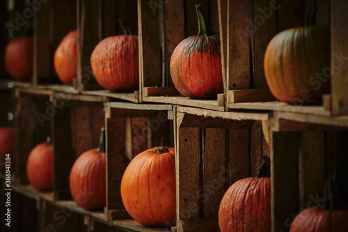 Obraz Rustic autumn still life with orange pumpkins. - fototapety do salonu