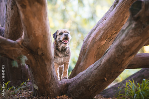 Fototapeta premium Border terrier in the nature