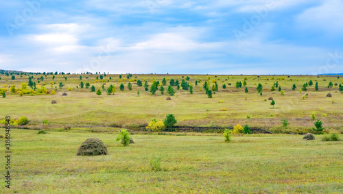 Fototapety, obrazy: young pines and birches grow on the steppe expanse, forming a rhythmic pattern