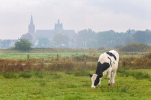 Cow Grazing With St Johns Cath...