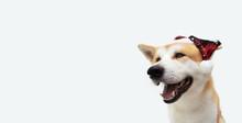 Akita Puppy Dog Celerbating Ch...