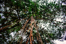 Close Up Vines On Trees