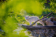 White Fox Walks In Nature In The Reserve