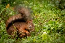 A Squirrel Gathering Nuts
