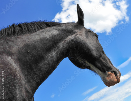 Majestic Black Clydesdale horse looking skyward on summer day Fotobehang