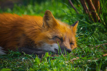 Fox Rests In The Summer In The...