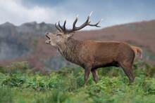 Red Deer Stag (Cervus Elaphus)...