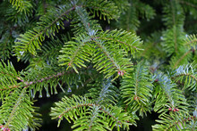 Fluffy Branch Of Fir Tree. Nat...