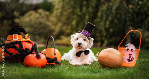 Obraz Funny West Highland White Terrier dog decorated with photo props sits near orange pumpkins, at home. Preparation for the celebration. Wallet or life. Happy Halloween and autumn concept. - fototapety do salonu