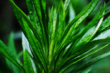 A Plant With Long And Thin Green Leaves. Blurred Background. Close-up
