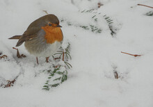 Robin In Winter Looking For Food On The Lawn Covered By Heavy Snowfall