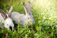 Two Rabbits, Gray And White. R...