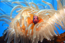 Orange Clown Fish In Sea Anemone
