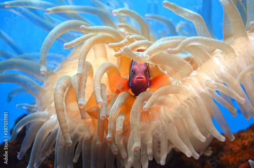 Slika na platnu Orange Clown Fish in Sea Anemone