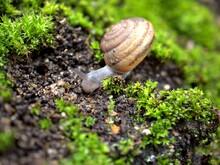 Closeup Macro Black Snail (ari...
