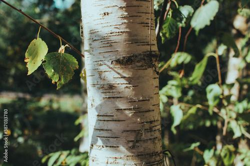 the birch Fototapet