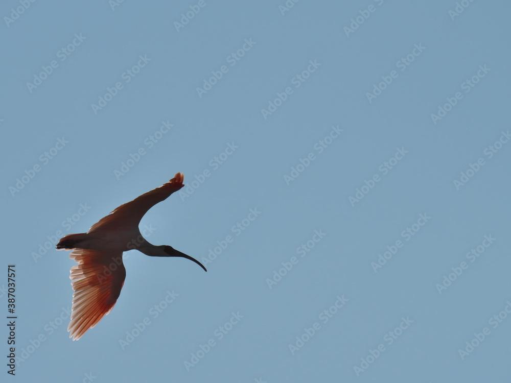 Fototapeta Niigata,Japan-October 20,2020: Toki or Japanese crested ibis or Nipponia nippon flying on autumn blue sky in Sado island