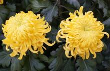 Yellow Football Mum Flowers At...