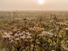 Autumn Field With Dried Hogwee...