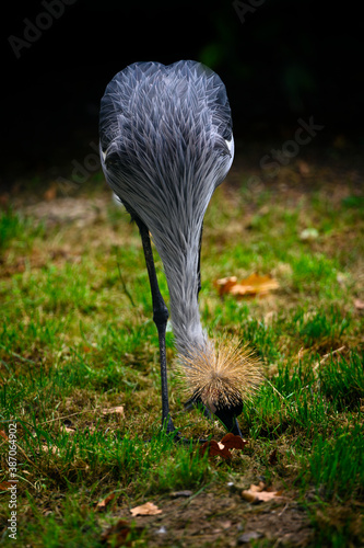Naklejka premium Balearica regulorum - royal crane outdoors in nature.
