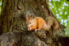 Squirrel Eat Nuts On A Tree In...