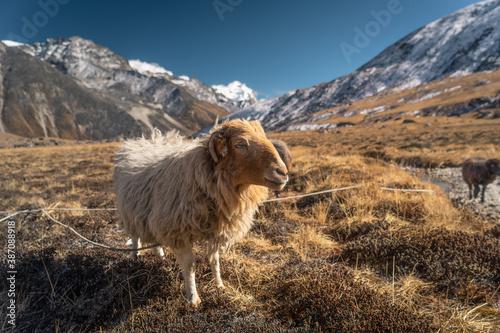 Fotografiet Sheeps in Himalaya mountains range, Mera peak climbing route, Nepal