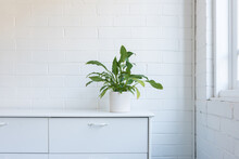 Green Leafy Pot Plant On White Sideboard Next To Window Against Paintec Brick Wall (selective Focus)