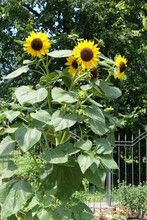 Branched Common Sunflower With...
