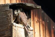 Common Kestrel (Falco Tinnuncu...