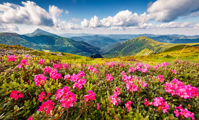 Fototapeta Łąka Blooming pink rhododendron flowers on the Chornogora range. Picturesque summer view of Carpathian mountains with highest peak Hoverla on background, Ukraine, Europe.