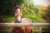 Portrait of a beautiful Bay horse with a halter on its muzzle, which stands on a farm in a paddock with a wooden fence on a summer day. Agricultural industry.