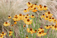 Close Up On A Field Of Black Eyed Susan Flowers With Upside Down Petals Among Waving Grass. Rural, Dreamy And Joyful.