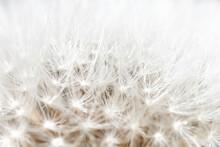 Dandelion White Macro Fluffy D...