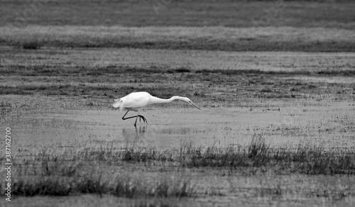 Naklejka premium Great Egret an a wetland