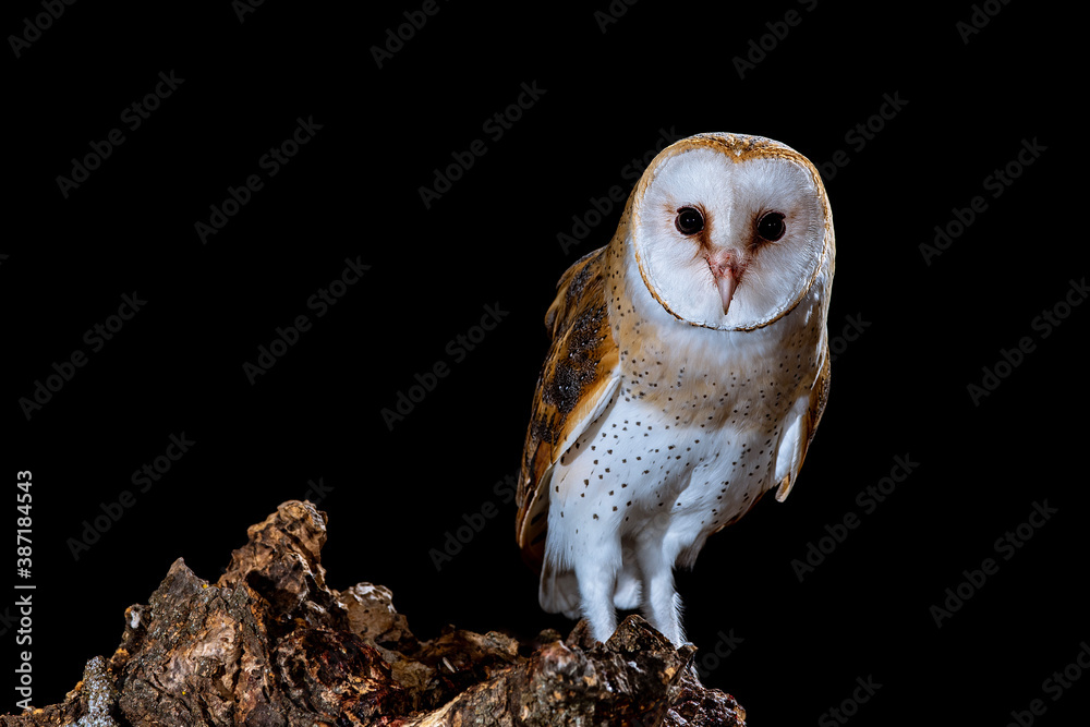 Fototapeta Barn owl perched at night on a log with dark background