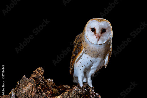 Barn owl perched at night on a log with dark background Canvas Print